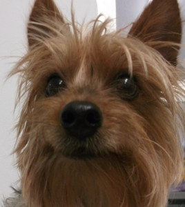 Bella 5 year old Yorkie