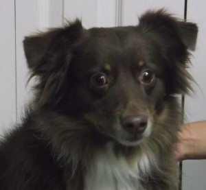 Boogie 5 year old Australian Shepherd