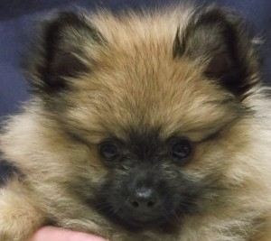 Brody 10 week old Pomeranian