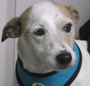 Buddy 8 year old Jack Russell
