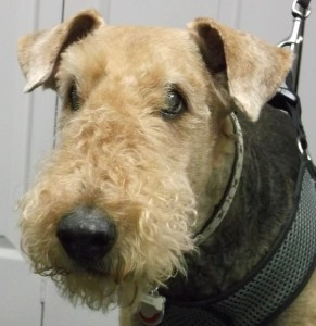 Chaz 11 year old Airedale terrier