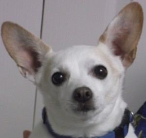 Chico 9 year old Chihuahua