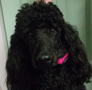 Mika | 15M | Standard Poodle