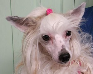 Leena | 16M | Chinese Crested