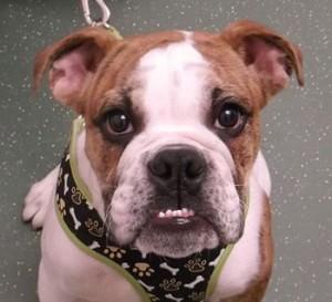 Benji | 20W | Bulldog