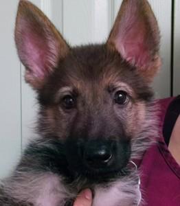 Roque   9W   German Shepherd