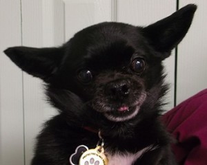 Miyagi   9Y   Chihuahua Mix