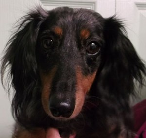 Billie | 5Y | Miniature Dachshund
