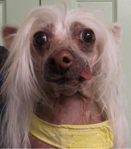 Ace | 12Y | Chinese Crested
