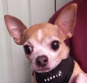 Freddy | 4Y | Chihuahua