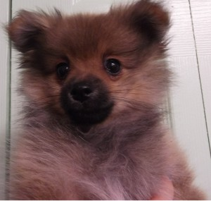 Cheyenne | 11W | Pomeranian