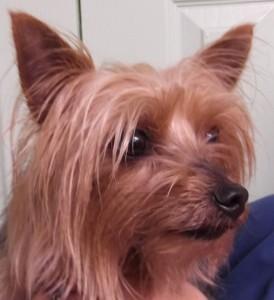 Lulu | 5Y | Australian Terrier