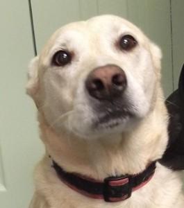Layla | 3Y | Labrador Retriever