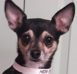 Bella | 3Y | Chihuahua Mix