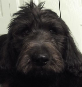 Darby | 14W | Labradoodle