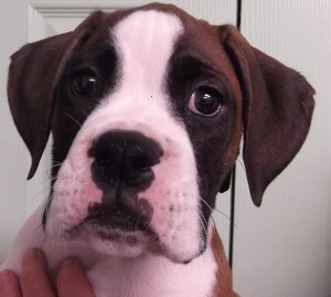 Buster | 10W | Boxer