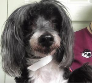 Mittens   3yr   Chinese Crested