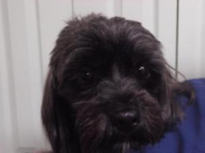Cocoa   3yr   Terrier