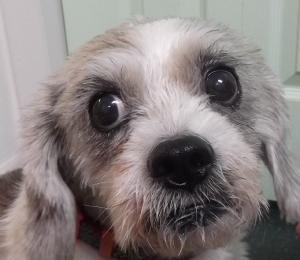 Dixie 12y Beagle mix