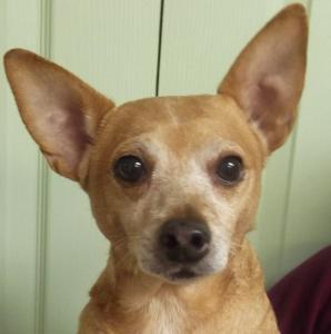 Lenny   12yr   Chihuahua