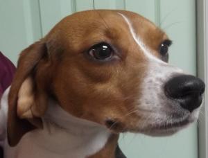 Bailey | 17mth | Beagle