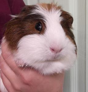 Sosa | 4wk | Guinea Pig